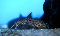 Image of Synodontis dhonti
