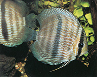 Image of Symphysodon discus (Red discus)