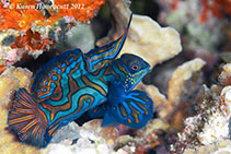 Image of Synchiropus splendidus (Mandarinfish)