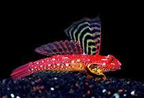 Image of Synchiropus sycorax (Ruby dragonet)