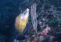 Image of Symphodus tinca (East Atlantic peacock wrasse)