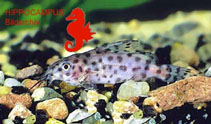 Image of Synodontis velifer