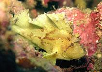 Image of Taenianotus triacanthus (Leaf scorpionfish)