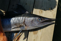 Image of Tetrapturus belone (Mediterranean spearfish)