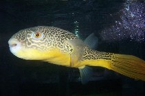 Image of Tetraodon mbu (Fresh water puffer fish)