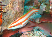 Image of Thalassoma ascensionis (Greenfish)