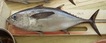 Image of Thunnus atlanticus (Blackfin tuna)