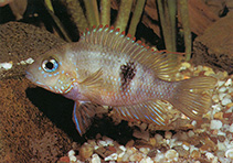 Image of Thorichthys callolepis (San Domingo cichlid)
