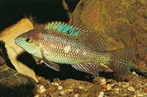 Image of Theraps lentiginosus (Freckled cichlid)
