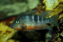 Image of Thorichthys meeki (Firemouth cichlid)