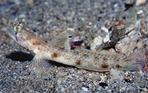 Image of Tomiyamichthys oni (Monster shrimpgoby)