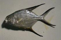 Image of Trachinotus goodei (Great pompano)