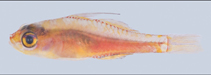 Image of Trimma habrum (Delicate pygmy goby)