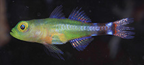 Image of Trimma meranyx (Day-night pygmy goby)