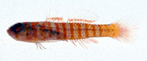 Image of Trimmatom pharus (Lifehouse dwarfgoby)
