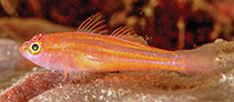 Image of Trimma preclarum (Exquisite pygmygoby)