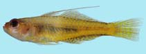 Image of Trimma taylori (Yellow cave goby)
