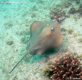 Image of Trygonoptera testacea (Common stingaree)