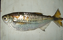 Image of Triportheus trifurcatus