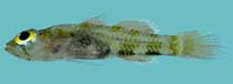 Image of Trimmatom zapotes (Hard-drinking atomgoby)