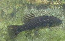 Image of Umbra krameri (Mudminnow)