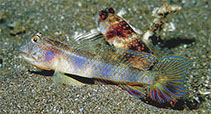 Image of Vanderhorstia papilio (Butterfly shrimpgoby)