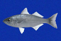 Image of Xenichthys agassizii