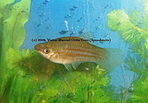 Image of Xiphophorus clemenciae (Yellow swordtail)