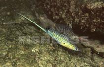 Xiphophorus montezumae - Wikipedia