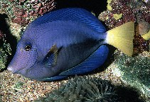 Image of Zebrasoma xanthurum (Yellowtail tang)