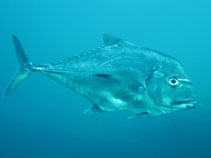 Image of Alectis ciliaris (African pompano)