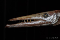 Image of Anotopterus pharao (Daggertooth)