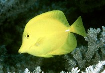 Image of Zebrasoma flavescens (Yellow tang)