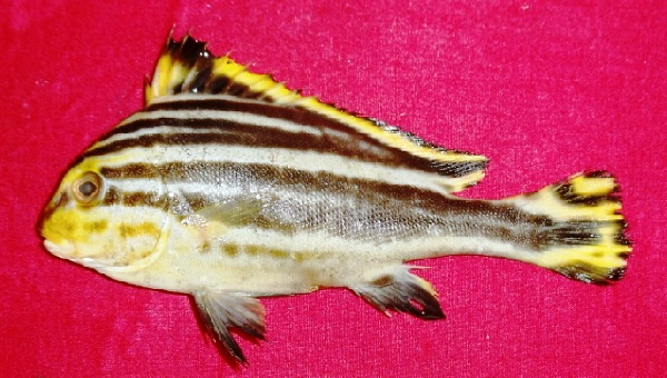species, diagramma pictum